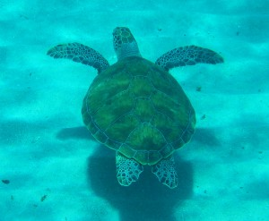 Green Turtle Playa Piskado